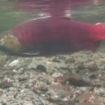 Sockeye salmon from the salmon cam