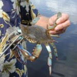 Blue crabs are food for many species