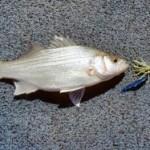 Kentucky White Bass