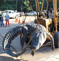 This huge gator was caught in Alabamsa