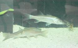 Snook In Hatchery