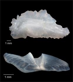 Otoliths show fish ages