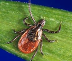 Also called deer tick