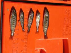 Trout from a hatchery